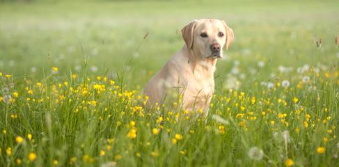cute labrador puppy in a field