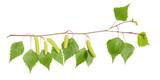 Fototapety Birch branch