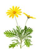Fototapety Yellow daisies