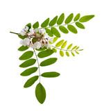 Fototapety acacia flowers