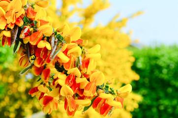 Scotch Broom Cytisus scoparius flowers