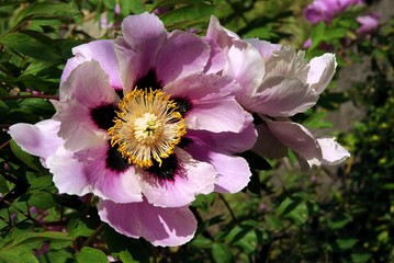 peony plant with pink flowers and yellow pollen