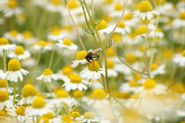 bee on chamomile flower spring season nature background