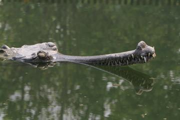 Krokodil Gangesgavial