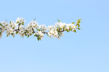 Ветка цветущей яблони на фоне неба
