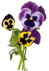 multicolor flowers of pansy
