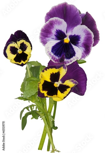 Canvas Pansies multicolor flowers of pansy