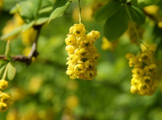 berberry shrub with yellow flowers