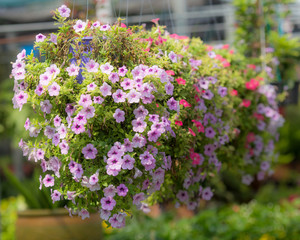 petunia in hanging baskets