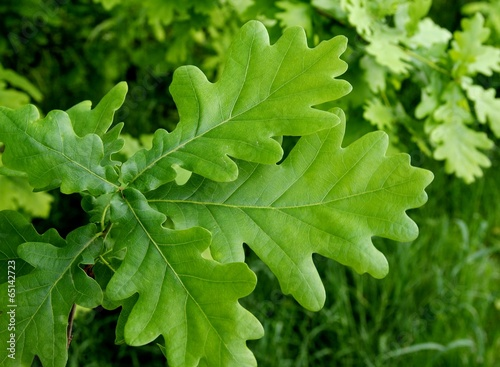leaves of oak tree
