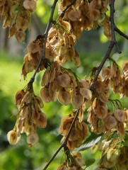 seeds of elm tree
