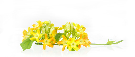 close up of cowslip Creeper - edible flower
