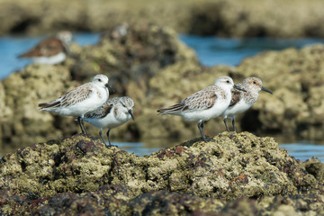 4 Sanderling (Caladris alba) standing on barnacle covered rocks