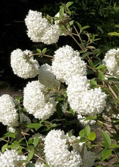 Viburnum bush with white sphaerical flowers