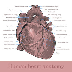 Human heart anatomy