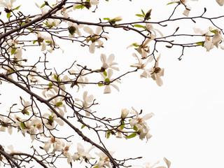Blooming Magnolia flowers in blue sky