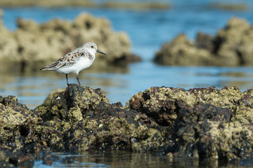 A Sanderling (Caladris alba) standing on barnacle covered rocks