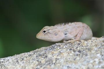 Iguana on a stone