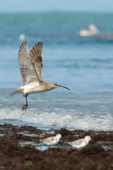 A Whimbrel (Numenius Phaeopus) on take off at the beach