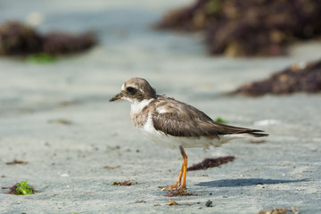 Ringed Plover (Charadrius hiaticula) with worn plumage on the be