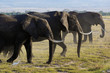 Family of african elephant