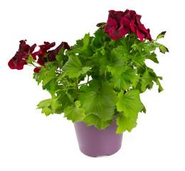 beautiful geranium flower in a pot over white