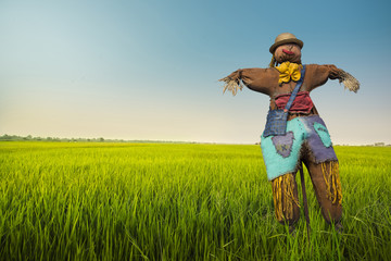 scarecrow in the rice field