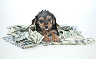 Silly Rich Morkie Puppy