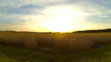 Bright sunset over the reed field.