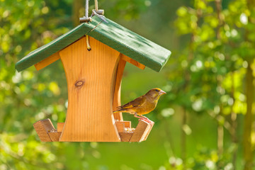 Greenfinch with seed feeder