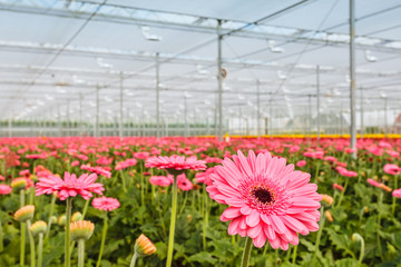 Blooming pink gerberas in a Dutch greenhouse