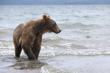 Brown bears catching fish in the Kuril lake
