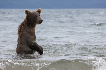 Brown bear catching fish in the Kuril lake