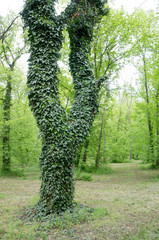 trees covered with ivy
