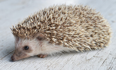 Hedgehog on table