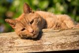 Ginger tomcat poster