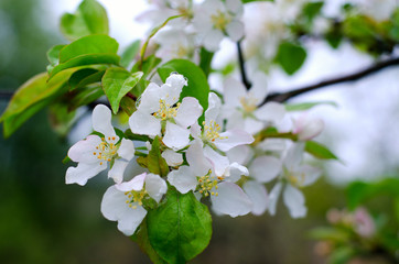 Branch pears with white flowers