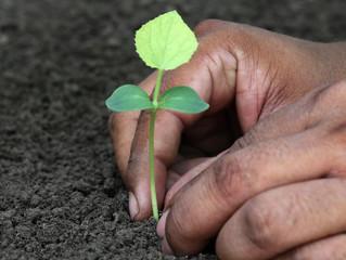Planting phalsa seedling