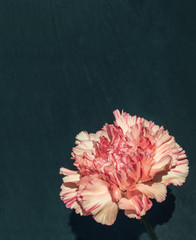 Pink carnation in front of black slate