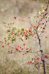 Hawthorn in the autumn