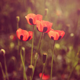 Poppy flowers retro look