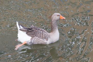 Goose on a river closeup