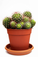 cactus in flower pot isolated on white