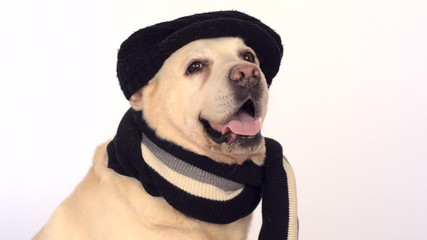 cute labrador on a white background in a black hat and a scarf