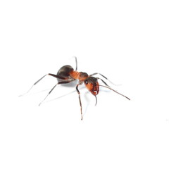 red ant isolated on white background