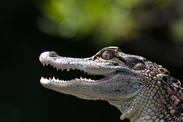 Portrait of a young alligator