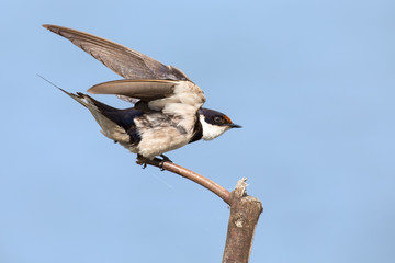 Close-up of a white-throated swallow take off from wood perch