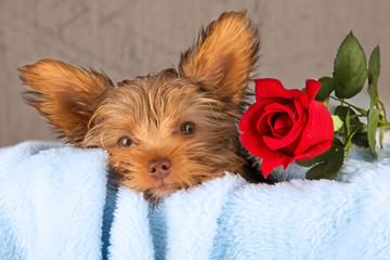 Tired cute little Yorkshire terrier resting on a soft blue bed a