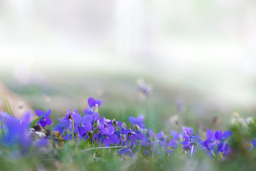 fresh spring background with tiny blue flowers at grass meadow