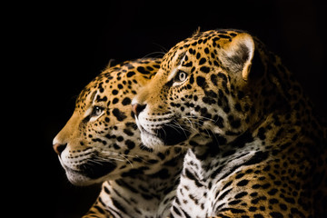 Jaguar Pair III